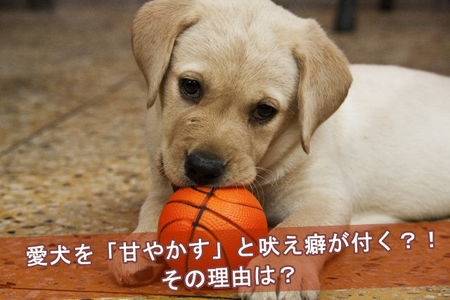 愛犬を甘やかすと吠え癖がつくその理由とは