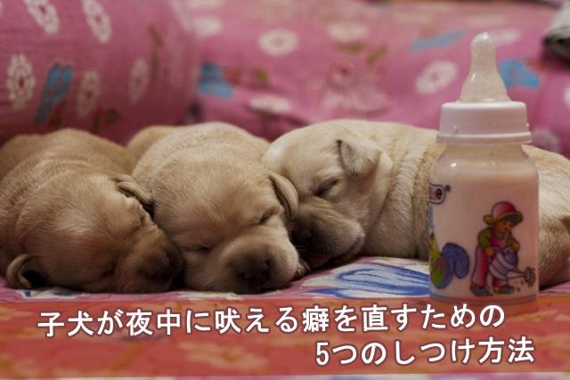 子犬が夜中に吠える癖を直す為のしつけ法